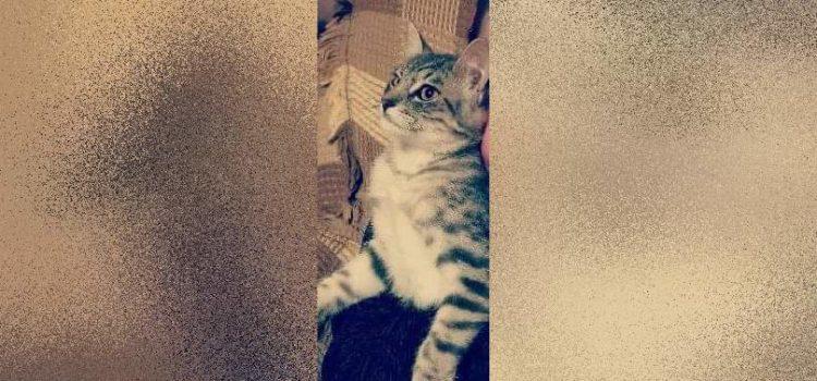 Zaginęła kotka w okolicy ulicy Zwierzynieckiej