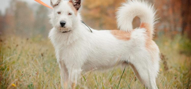 Ramzes młody pies w typie Jack Russel Terriera